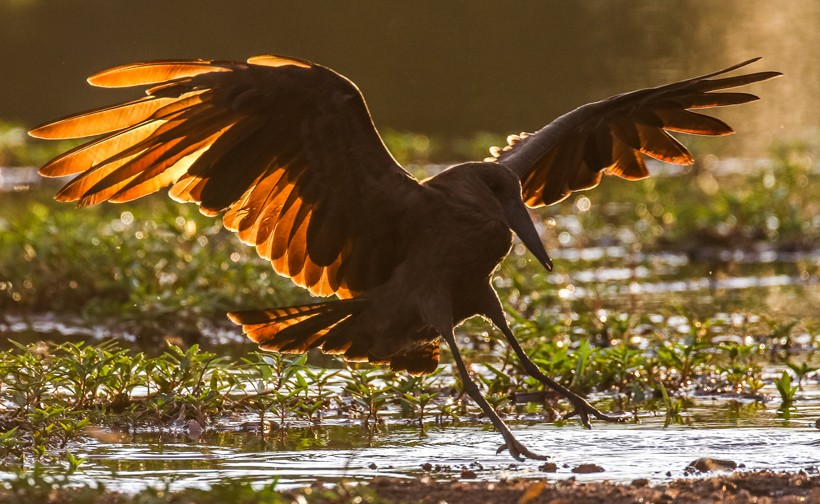 Hamerkop flying to land at river with light shining through wings