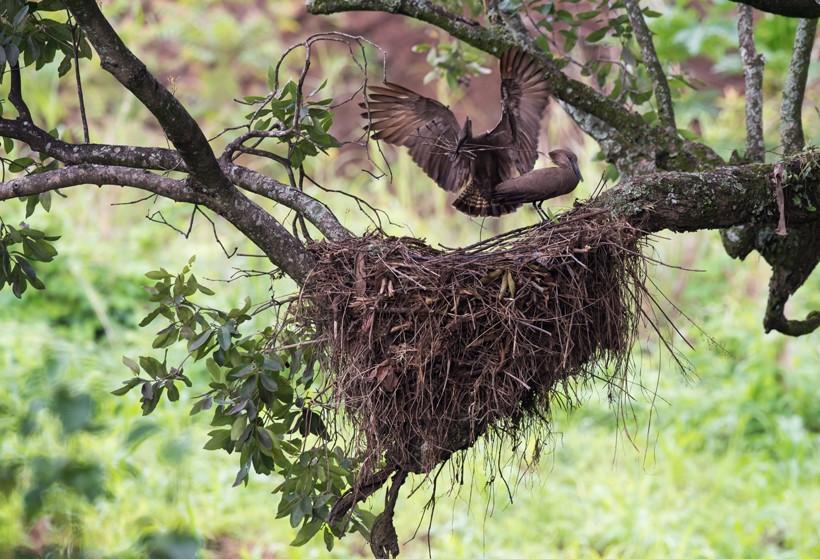 Hamerkops huge nest