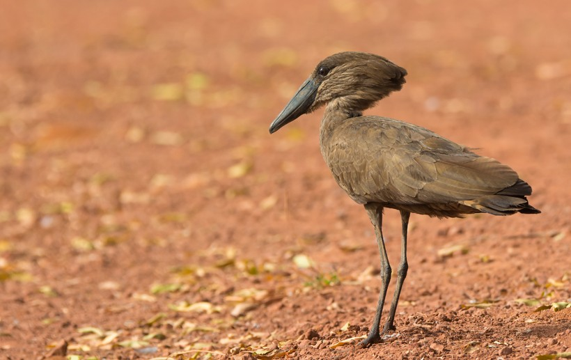 Hamerkop standing on a clay road