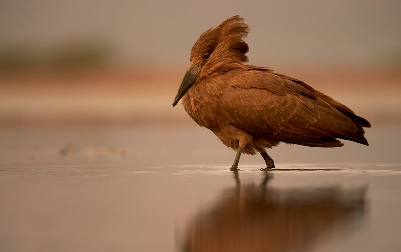 Hamerkop walking in shallow calm water during colorful sunset