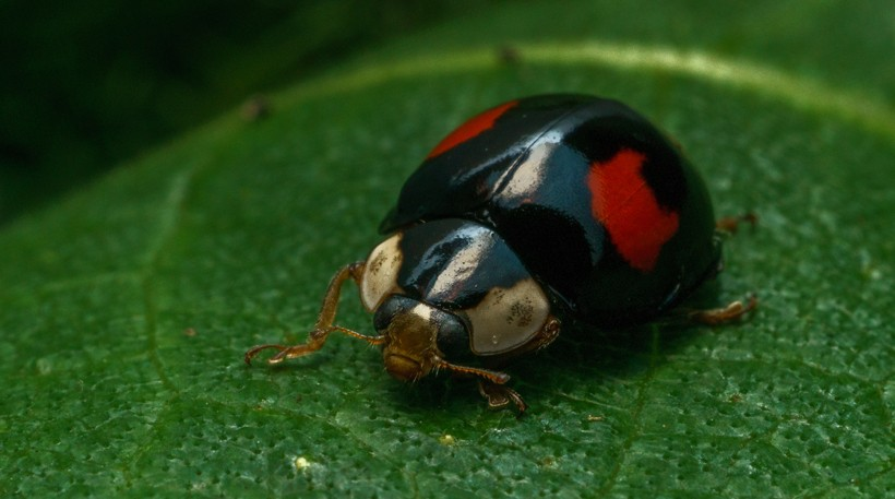 The conspicua variant of the harlequin ladybird is black and contain two red spots