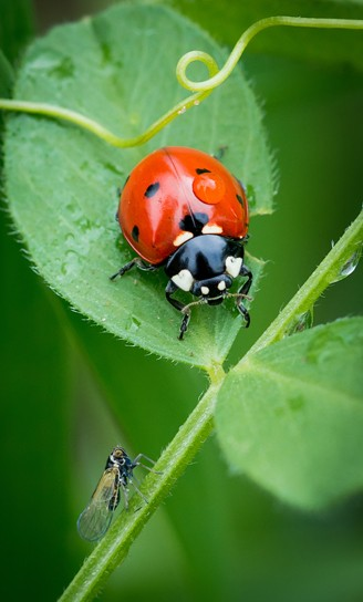 Harlequin ladybird on a leaflet