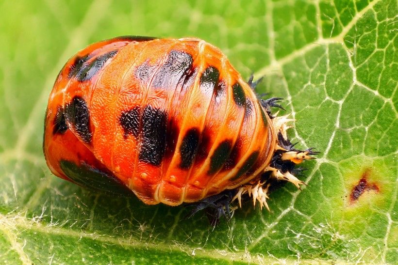 The pupa of harlequin ladybirds sticks to the leaves of trees and shrubs in their habitat