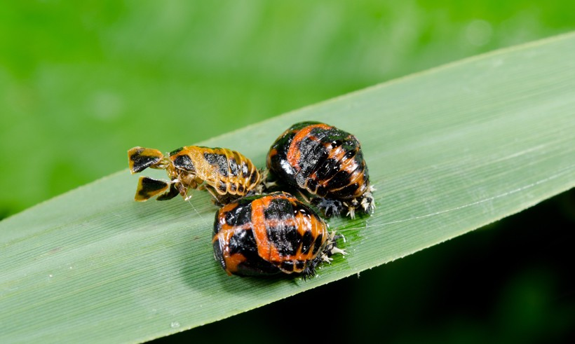 Cluster of harlequin ladybird pupae, on reed grass