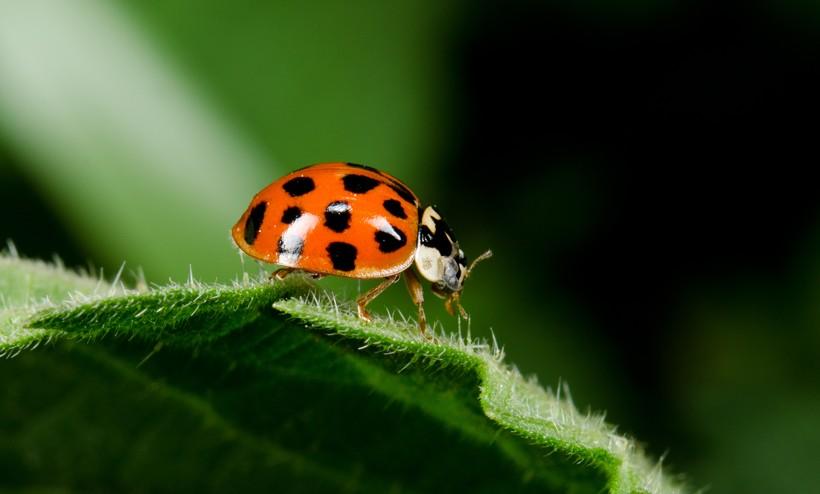 Harlequin ladybird walking on a leaf