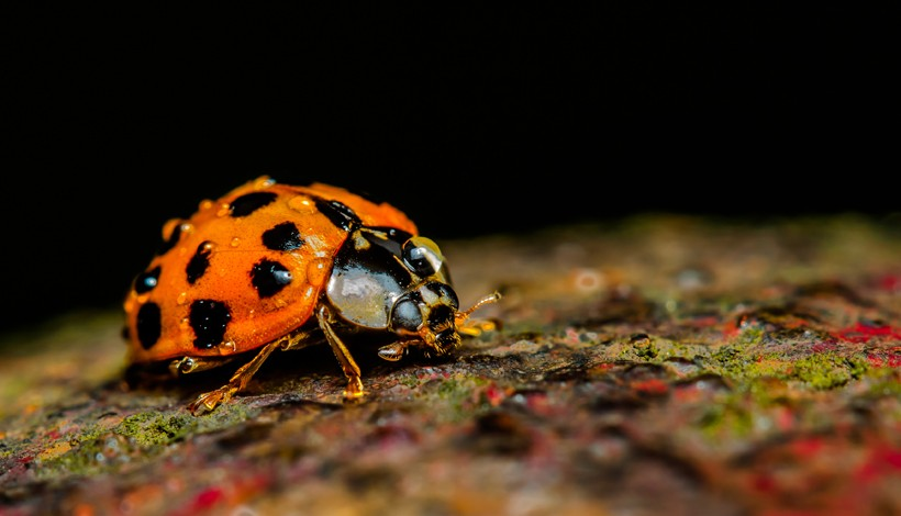 The Harmonia axyridis is more commonly known as the Harlequin ladybird, as they occur in varying color patterns.