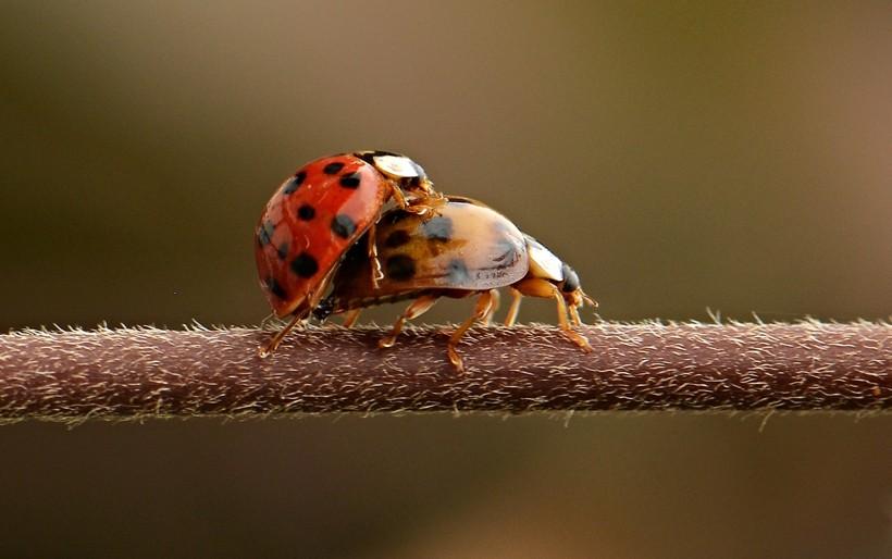 Harlequin ladybirds mating