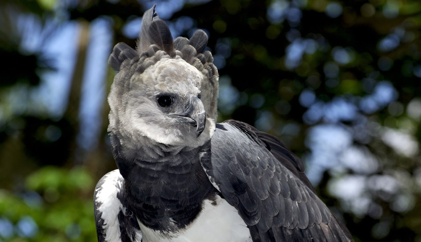 The Harpy Eagle is native to the south and central Americas