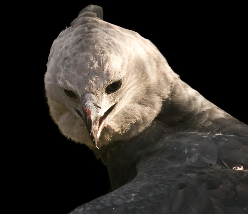 Harpy eagle closeup head