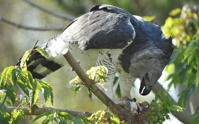 Harpy eagle feeding on a mouse