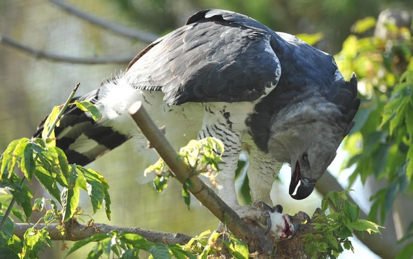 Harpy eagle feeding on a mouse