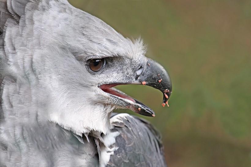 Male harpy eagle, panama