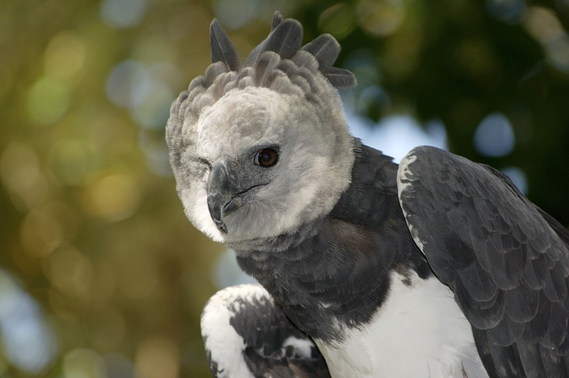 The harpy eagle is considered as a near threatened