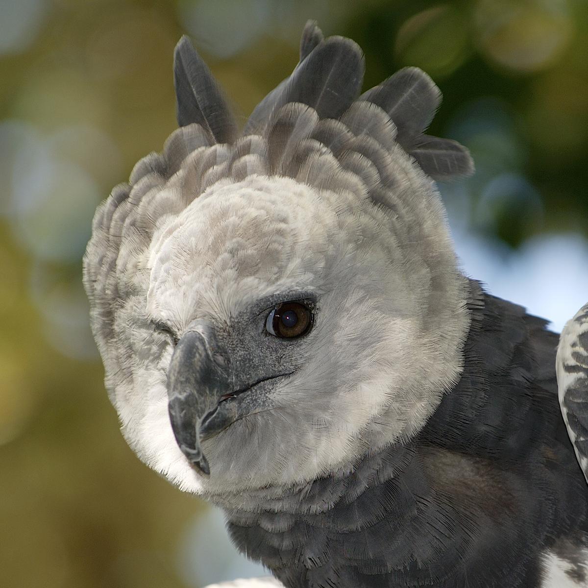 Harpy Eagle (Harpia Harpyja) | About Animals