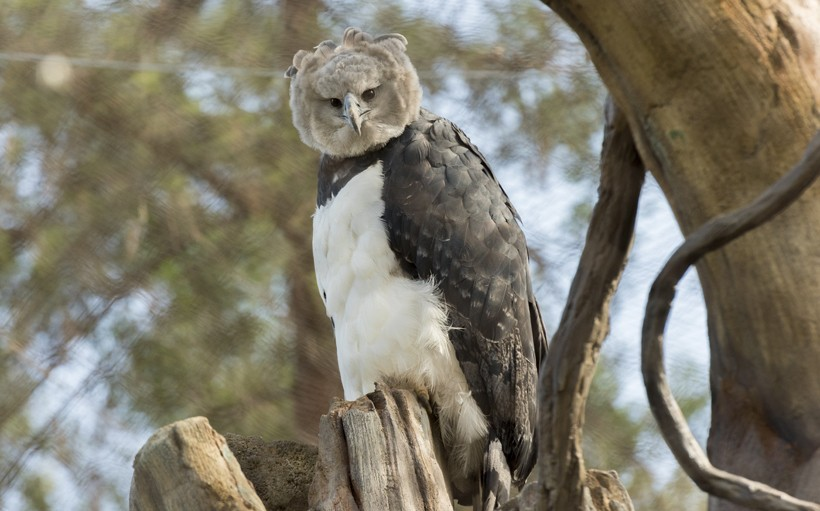 Harpy eagle standing
