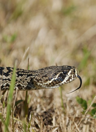 Head of the eastern diamondback rattlesnake with his v tongue out of its mouth