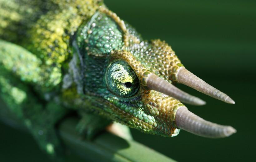 Head of a Jackson's Chameleon