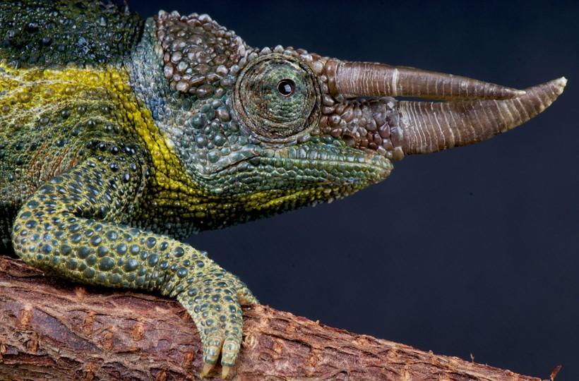 Closeup Jackson's chameleon