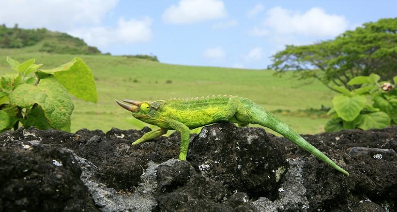 Jackson's chameleon walking on rocks