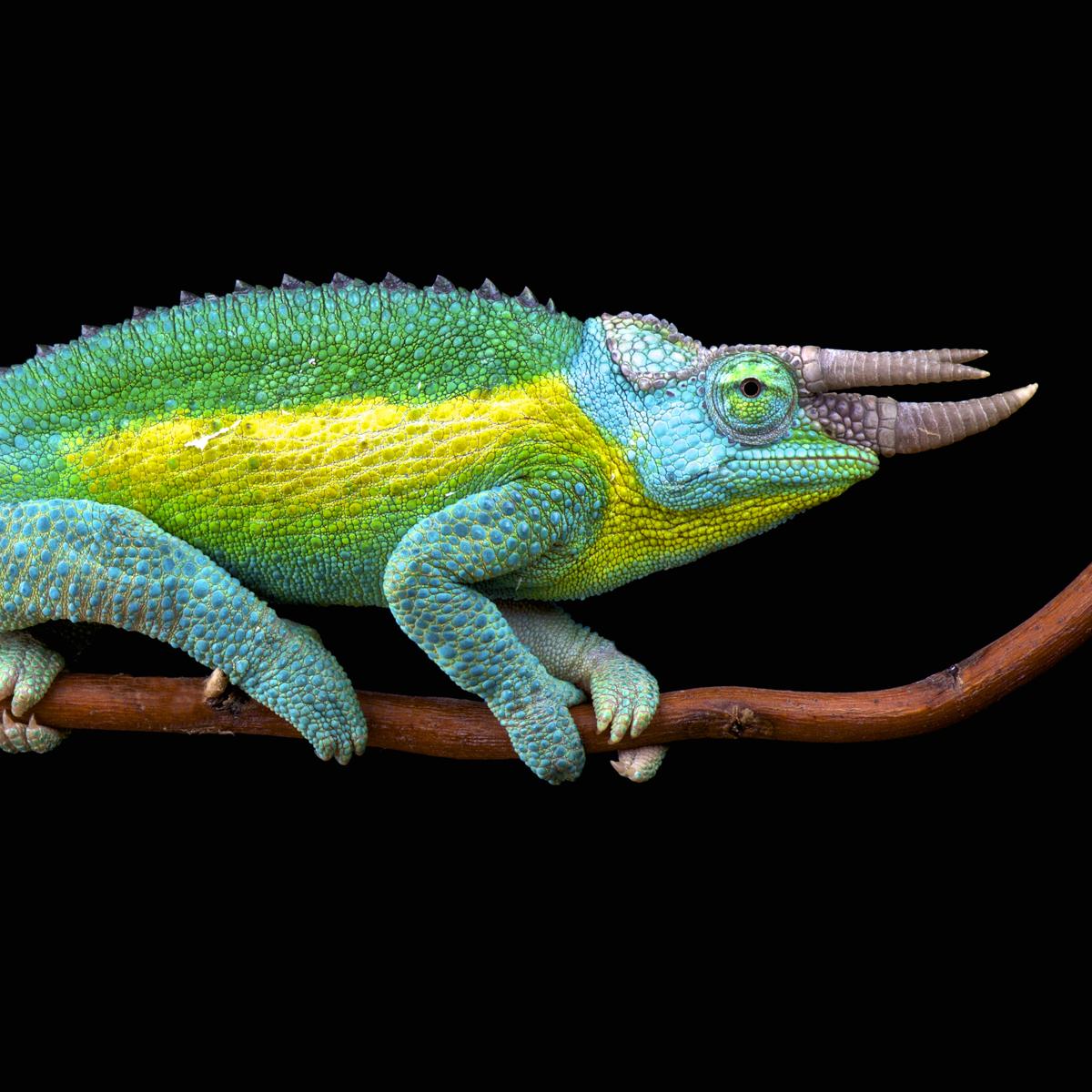 Chameleon Horns: Jackson's Chameleon (Trioceros Jacksonii)