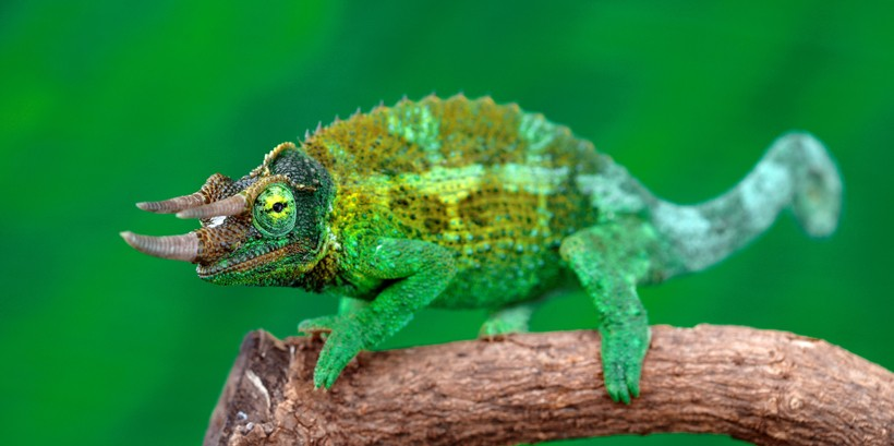 Jackson's chameleon on a branch
