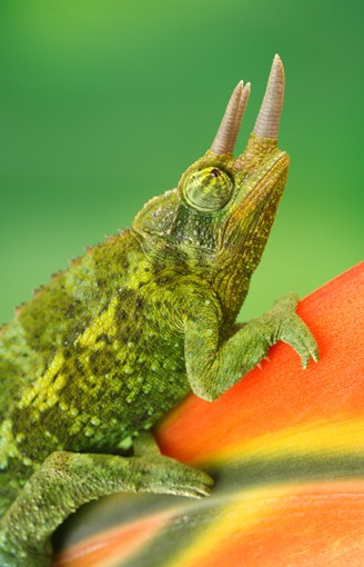 jackson's chameleon sitting on a tropical flower