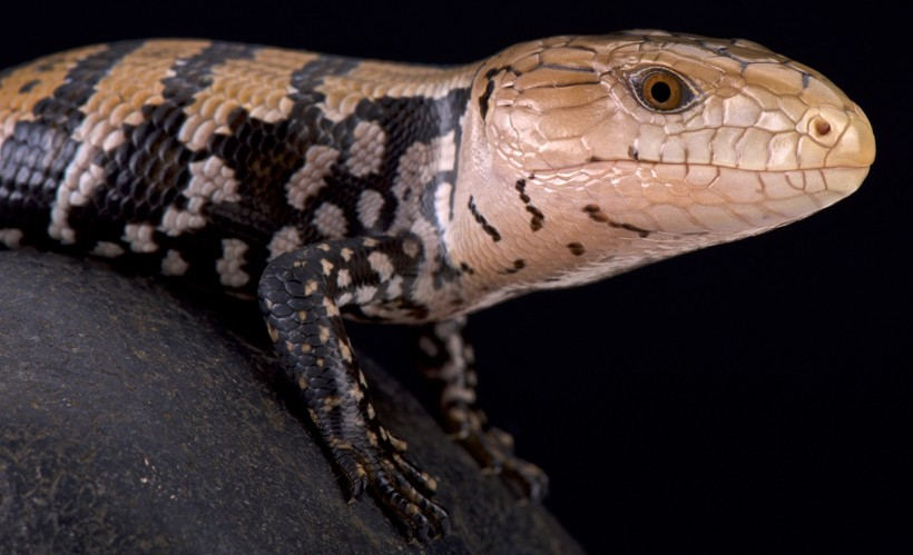 Kei island blue tongued skink