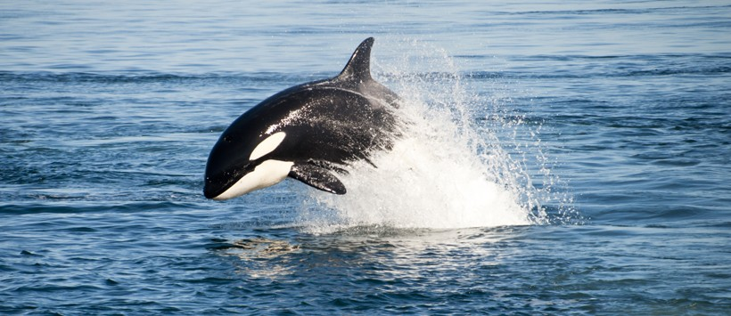 Killer whale breaching the water