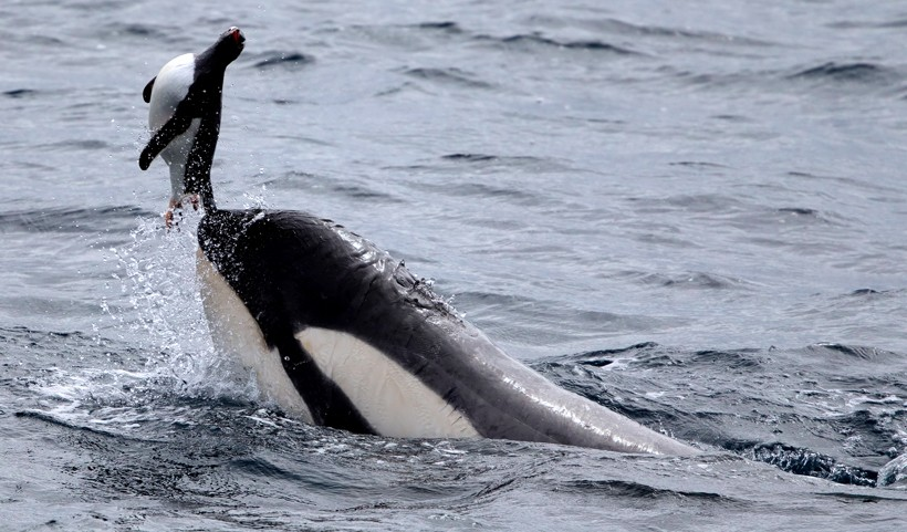 Killer whale catching a gentoo penguin