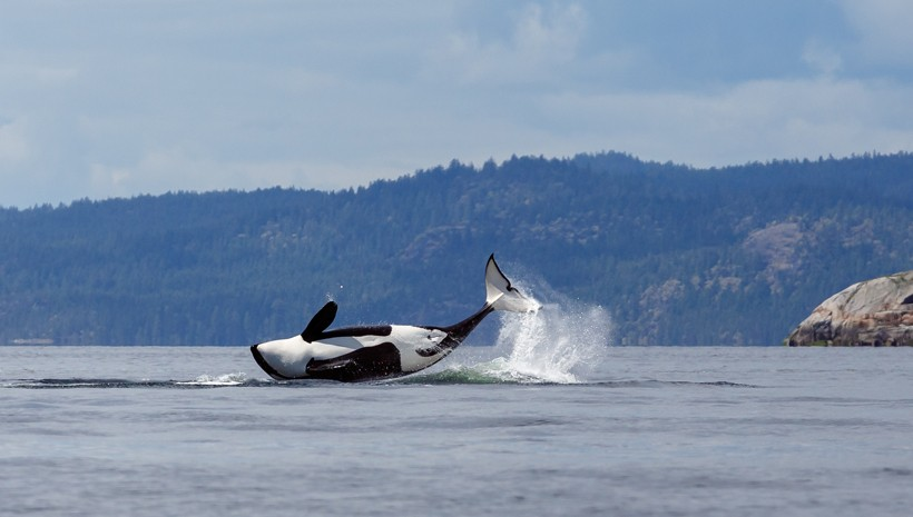 Killer whale making a turn while breaching