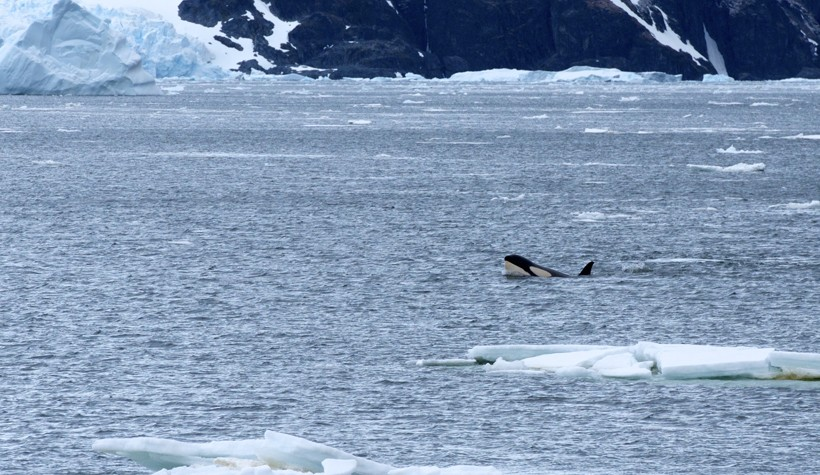Orca swimming the Lemaire Channel, looking for seals