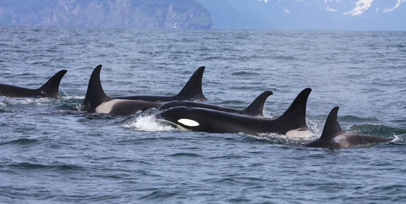 Killer whale group traveling