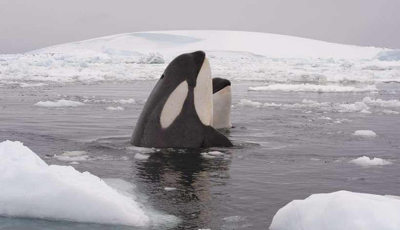 Mother with calf, antactica