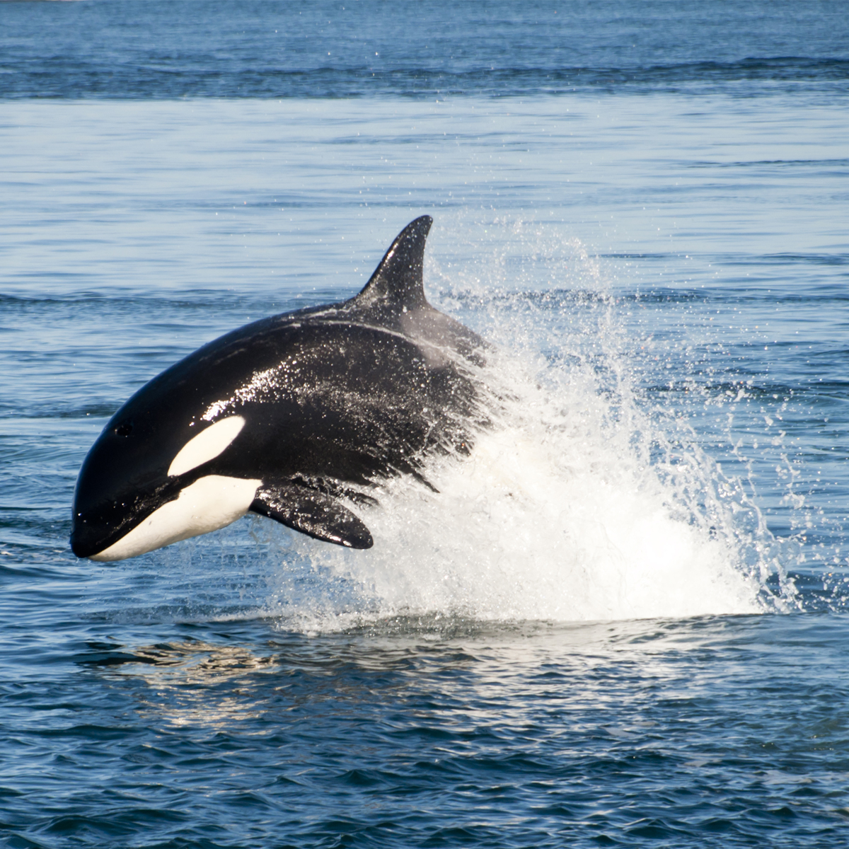 Killer Whale (Orcinus orca) | about animals