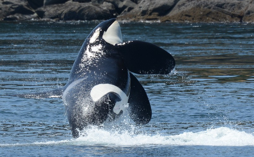 Southern Resident killer whale male