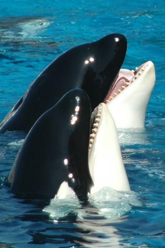 Closeup head two killer whales