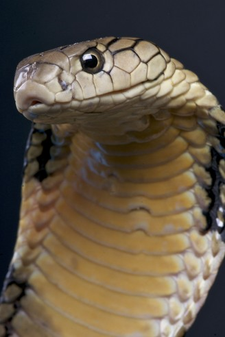 Closeup head King Cobra