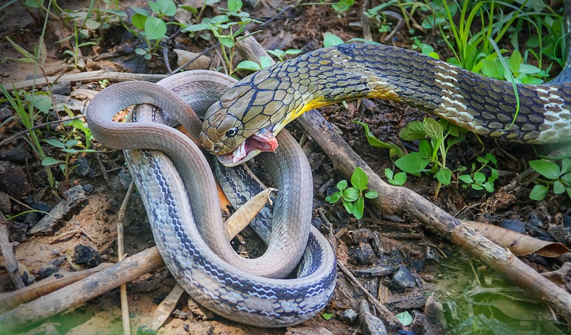 King Cobra (Ophiophagus hannah)   about animals