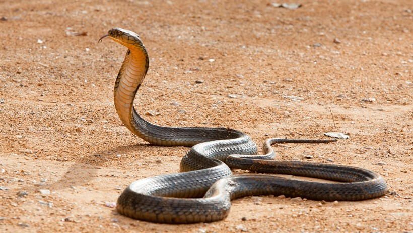 King Cobra Ophiophagus Hannah About Animals