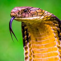 King Cobra