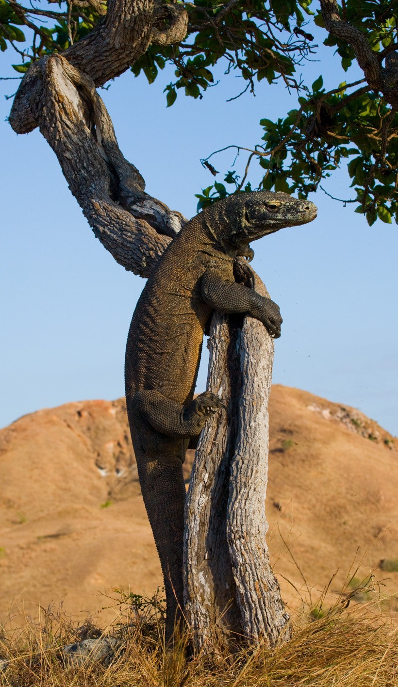 Komodo Dragon climbing a tree, Indonesia