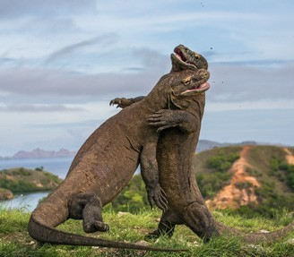 Komodo dragons fighting in Indonesia