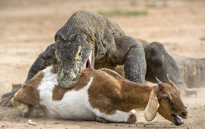 Komodo Dragon attacks a goat, Indonesia
