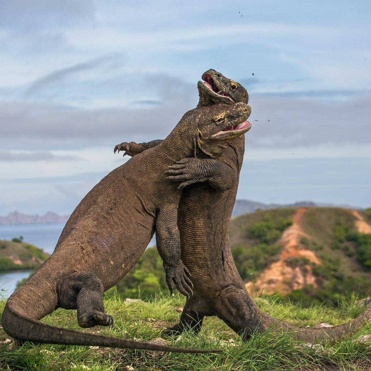 Komodo Dragon (Varanus komodoensis) | about animals