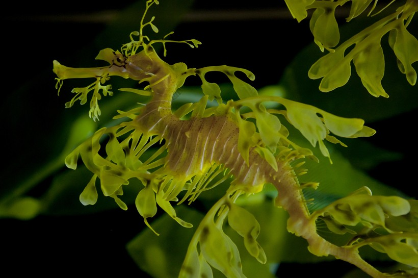 The leafy seadragon yellow-brown body with olive-tinted appendages.