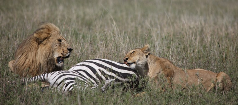 Male and female lion feeding on a zebra