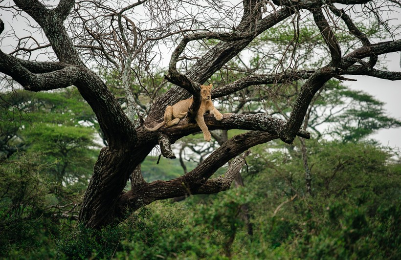 Lioness climbing in a tree
