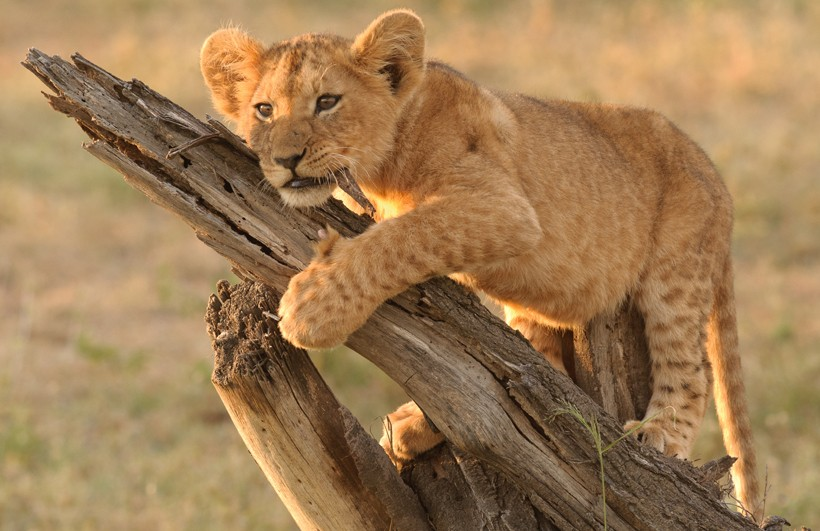 Lion cub on a log