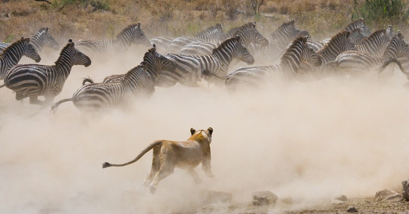 lioness attack on zebra herd