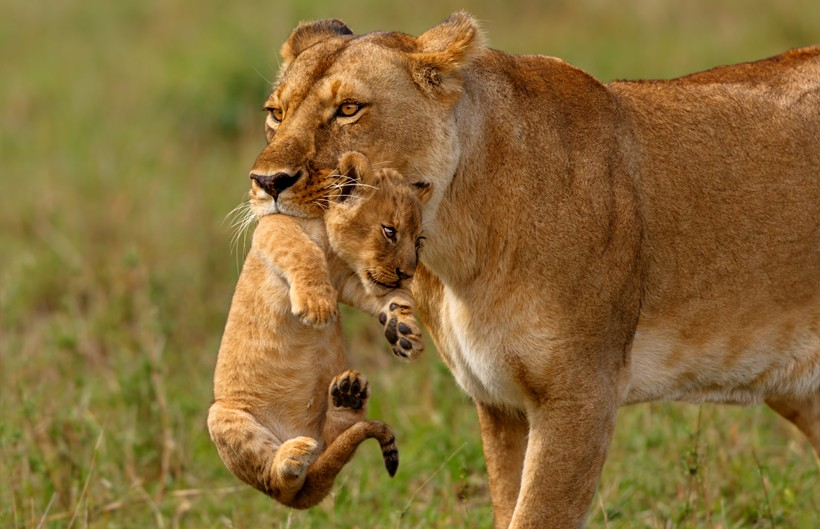 Lioness mother carries the newborn cub in her mouth